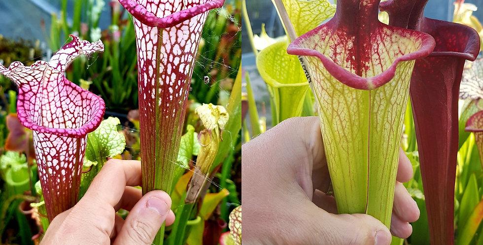 134) Pack of Sarracenia seeds 2019/2020, carnivorous plants rare
