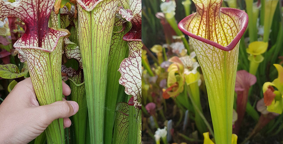 148) Pack of Sarracenia seeds 2020/2021