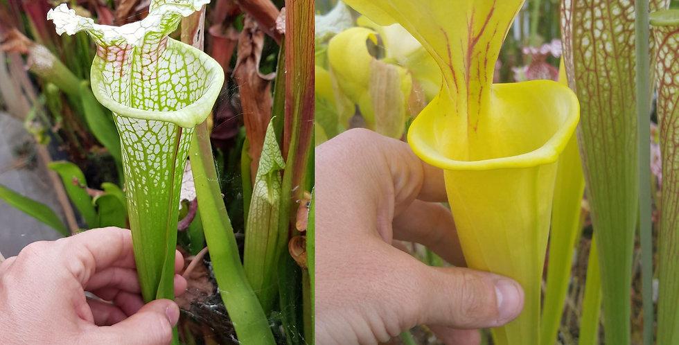 44) Pack of Sarracenia seeds 2019/2020, carnivorous plants rare