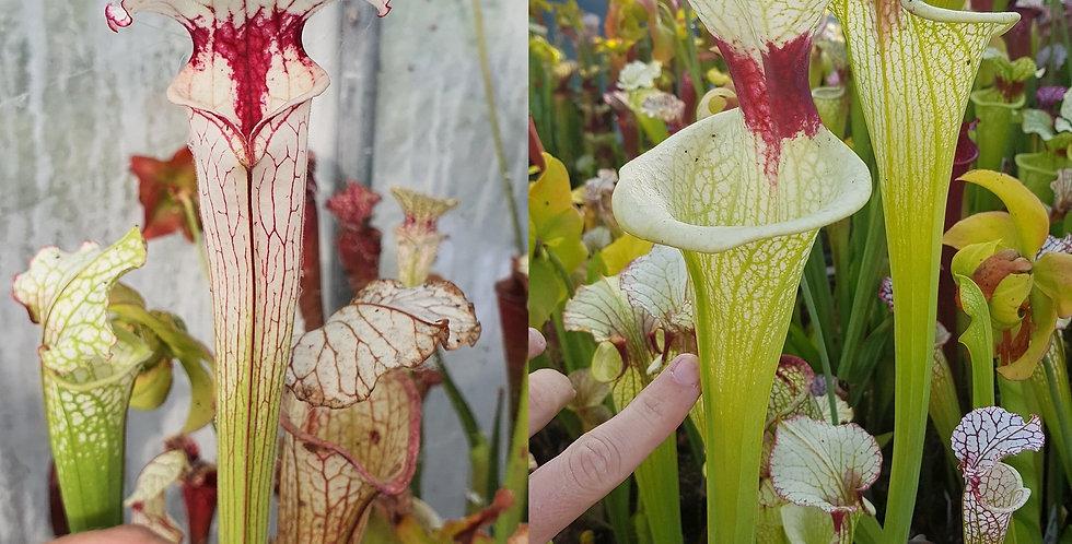 88) Pack of Sarracenia seeds 2020/2021