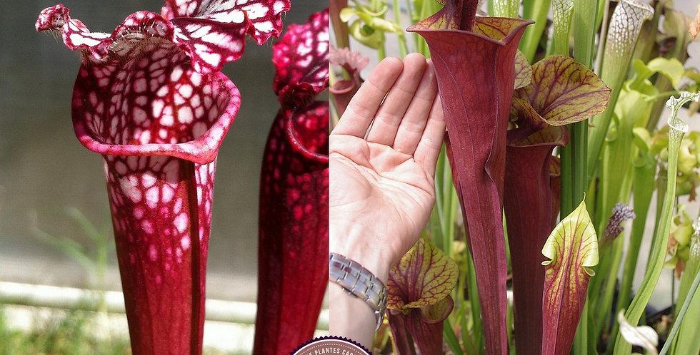 72) Pack of Sarracenia seeds 2019/2020, carnivorous plants rare