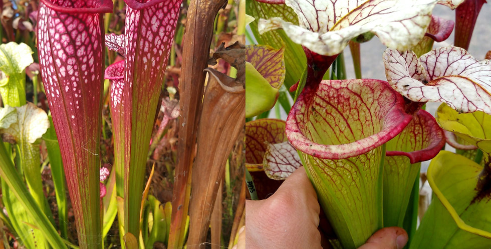 1) Pack of Sarracenia seeds 2019/2020, carnivorous plants rare