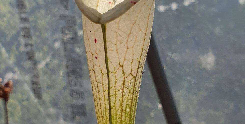 S. Leucophylla Russel Road x Leucophylla Alba L09 MK ; (OBL7)