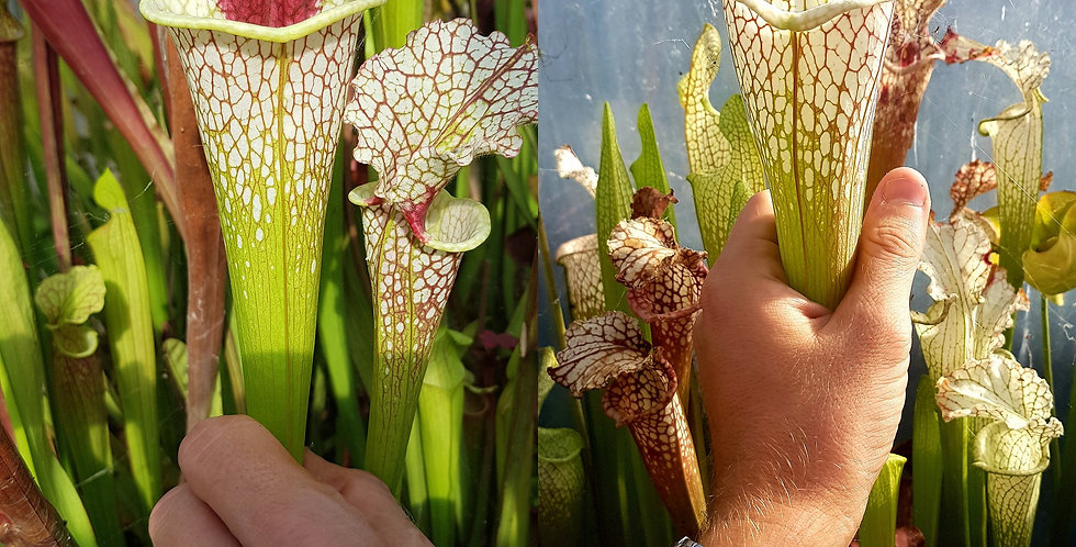 19) Pack of Sarracenia seeds 2019/2020, carnivorous plants rare