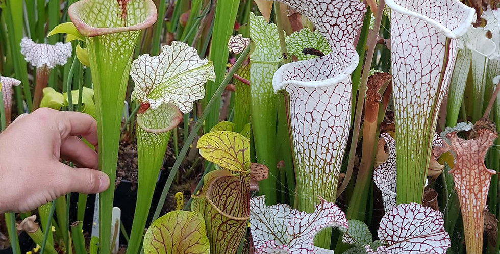 105) Pack of Sarracenia seeds 2019/2020, carnivorous plants rare