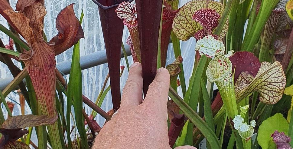 Flava Rubricorpora x Moorei Red very large (H62 MK) ; (OBH73)