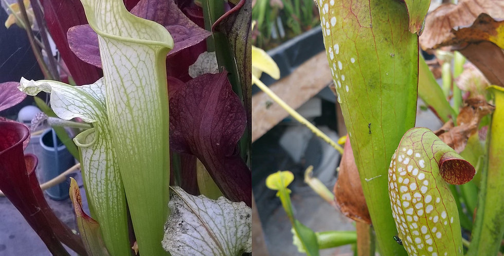65) Pack of Sarracenia seeds 2019/2020, carnivorous plants rare