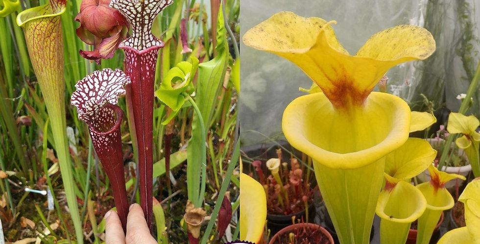 90) Pack of Sarracenia seeds 2020/2021
