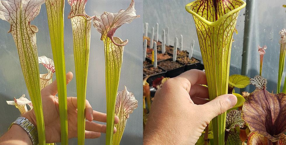 25) Pack of Sarracenia seeds 2020/2021