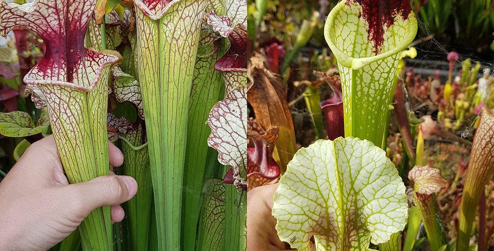 124) Pack of Sarracenia seeds 2019/2020, carnivorous plants rare