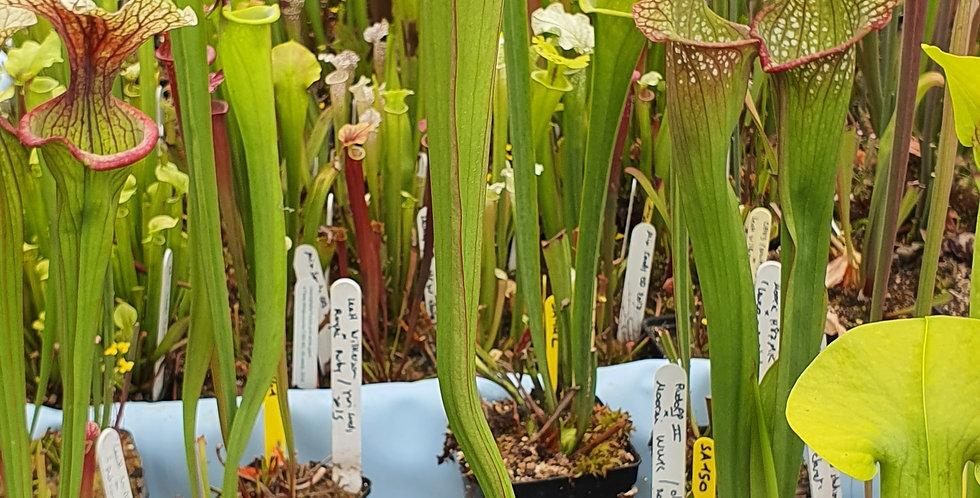 SA154 : (Purpurea x Leucophylla) x Moorei Adrian Slack