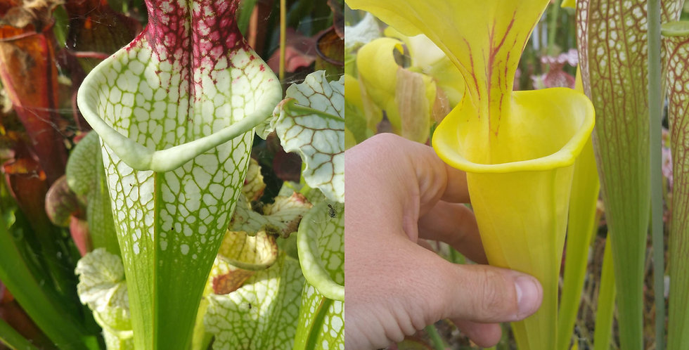 25) Pack of Sarracenia seeds 2019/2020, carnivorous plants rare