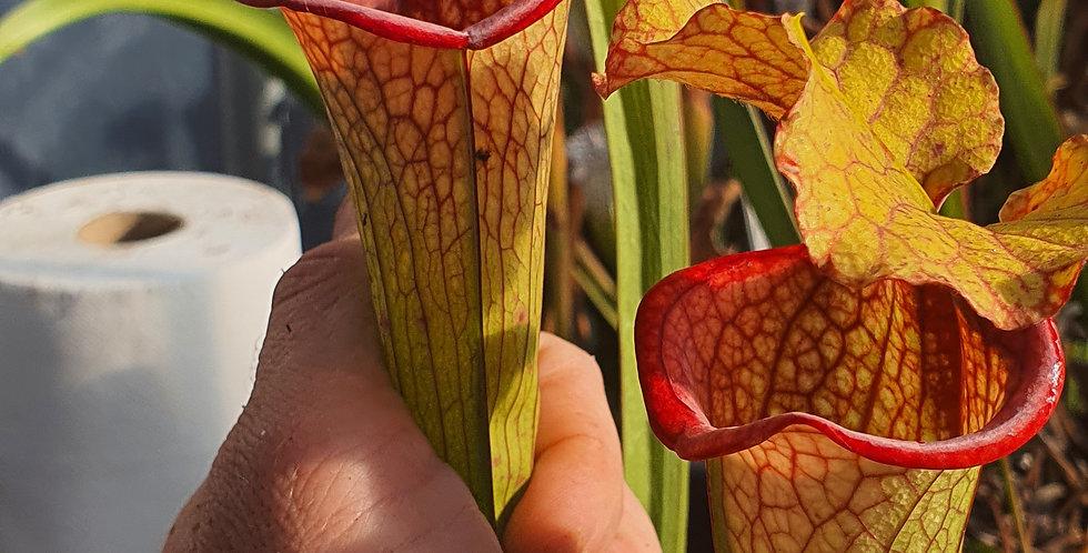 Moorei H87 MK x (Leucophylla x Moorei Adrian Slack clone L), clone 1