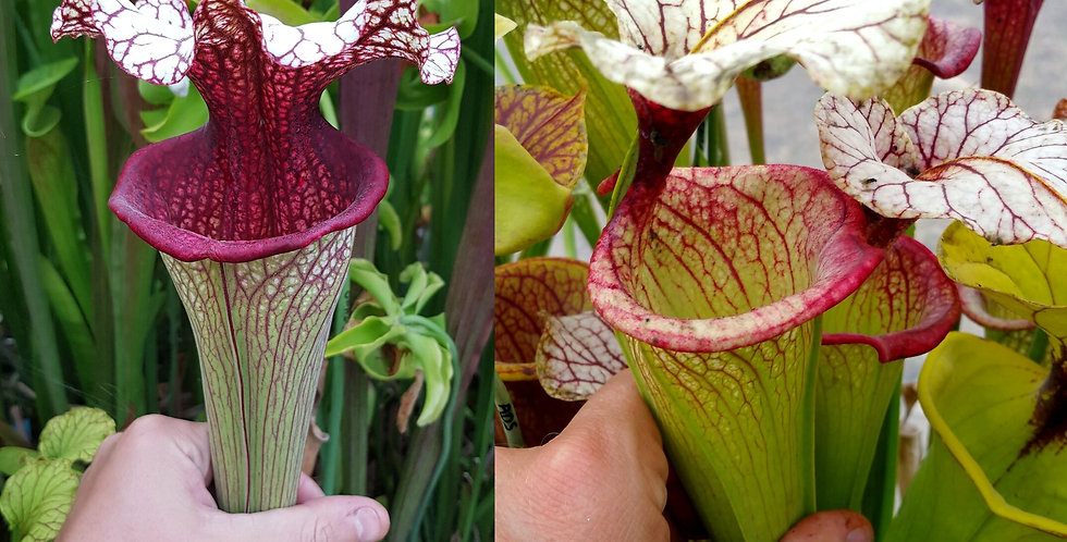 31) Pack of Sarracenia seeds 2019/2020, carnivorous plants rare