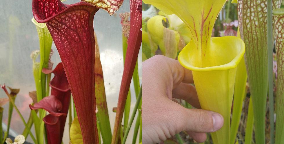 3) Pack of Sarracenia seeds 2019/2020, carnivorous plants rare