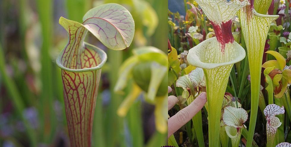 120) Pack of Sarracenia seeds 2019/2020, carnivorous plants rare