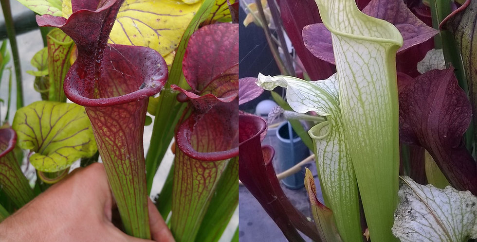 69) Pack of Sarracenia seeds 2019/2020, carnivorous plants rare
