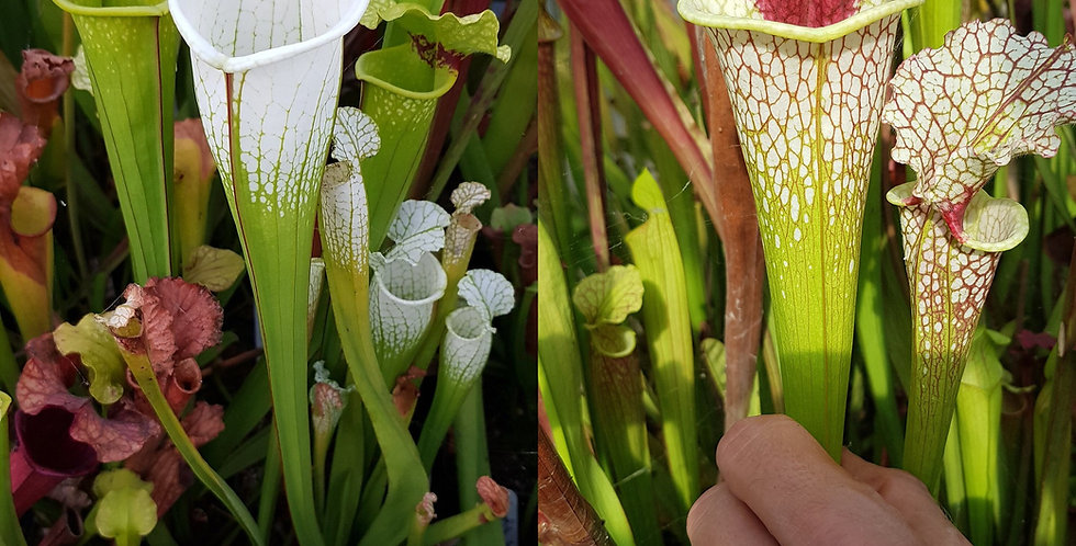 57) Pack of Sarracenia seeds 2020/2021