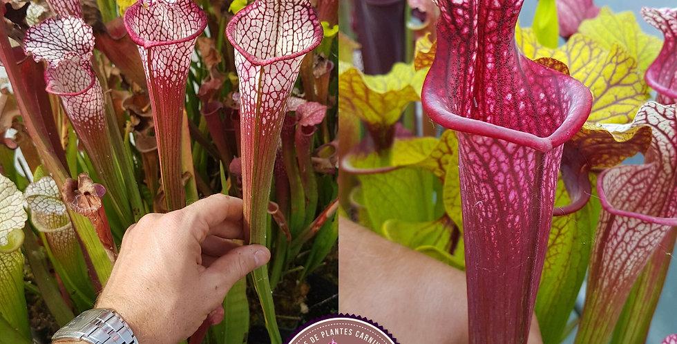 103) Pack of Sarracenia seeds 2020/2021