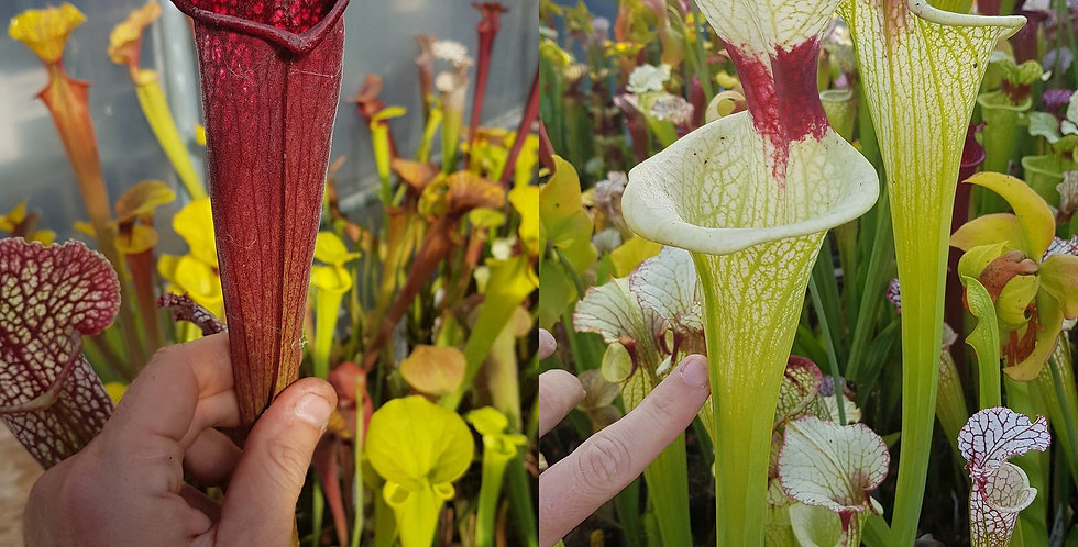 74) Pack of Sarracenia seeds 2020/2021