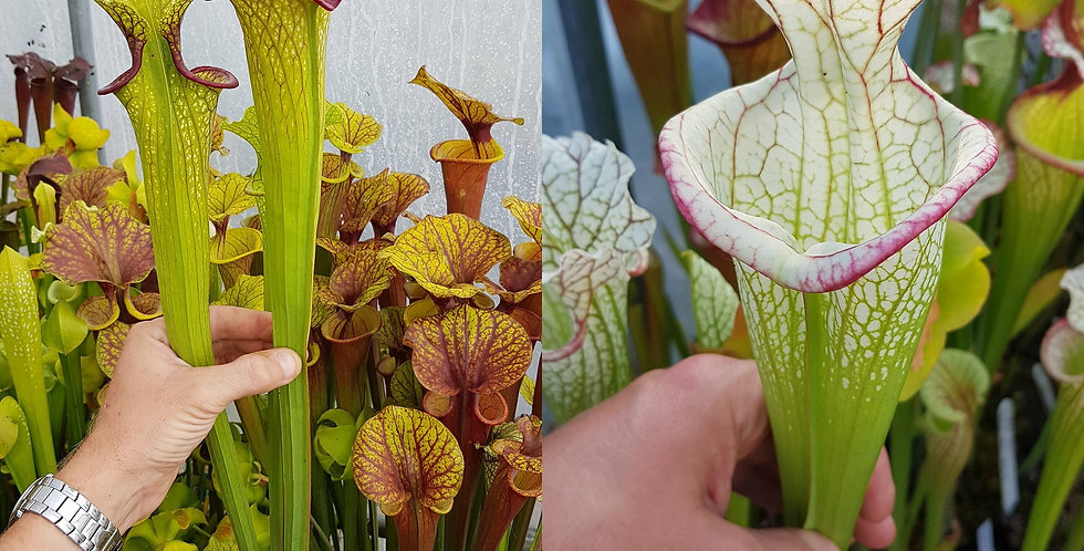 151) Pack of Sarracenia seeds 2020/2021