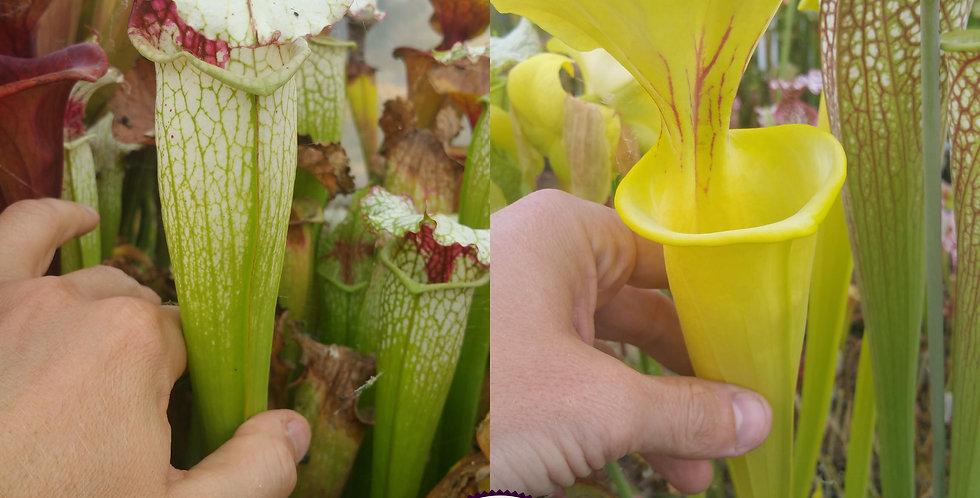 64) Pack of Sarracenia seeds 2020/2021