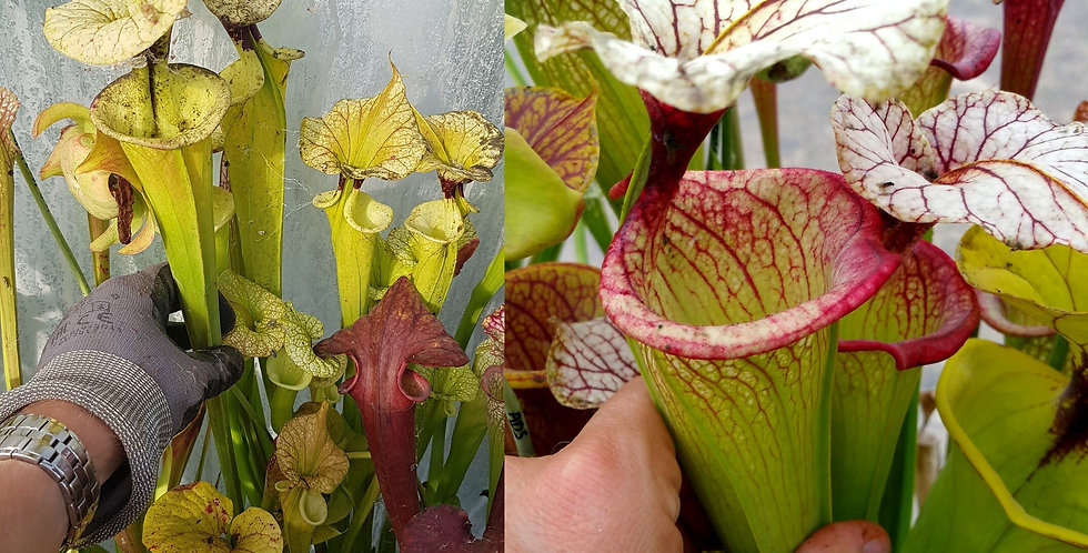 61) Pack of Sarracenia seeds 2019/2020, carnivorous plants rare