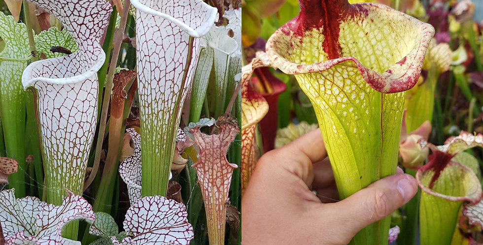 53) Pack of Sarracenia seeds 2019/2020, carnivorous plants rare