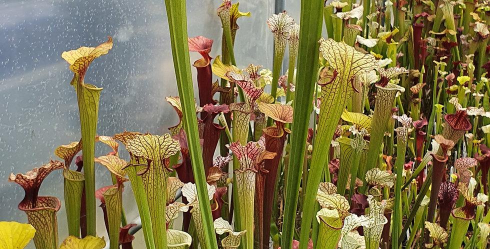 Leucophylla SL38 CA x Flava Rugelii Giant F18 MK, XXL PLANT
