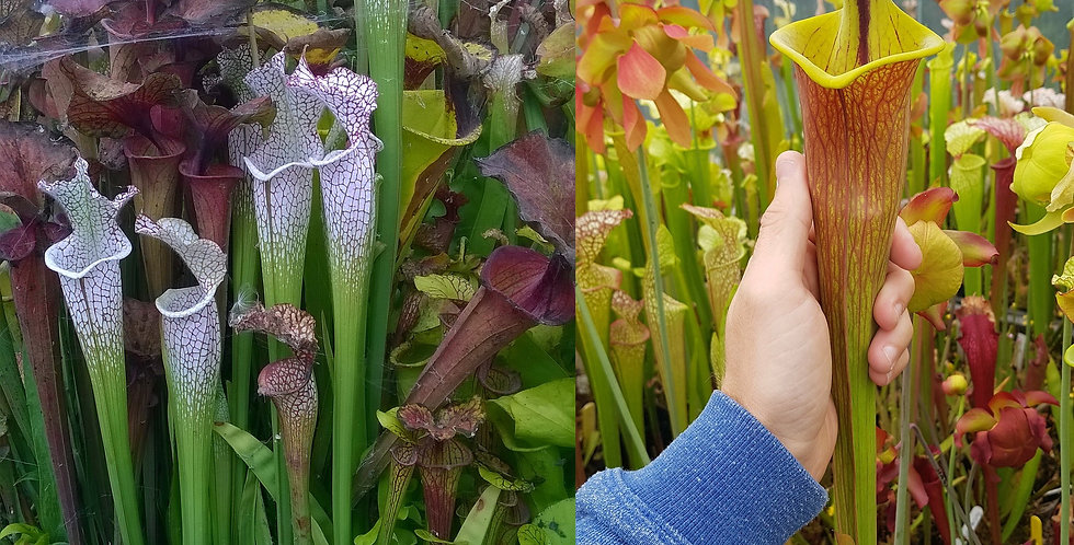 96) Pack of Sarracenia seeds 2020/2021
