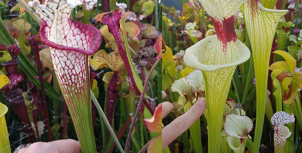 81) Pack of Sarracenia seeds 2019/2020, carnivorous plants rare