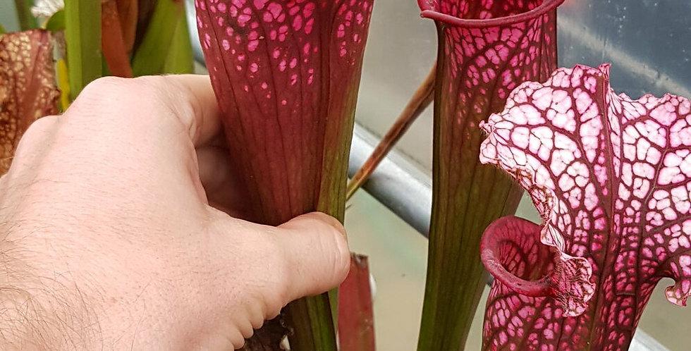 OBH40 : Judith Hindle x Leucophylla large pink lip L18 MK