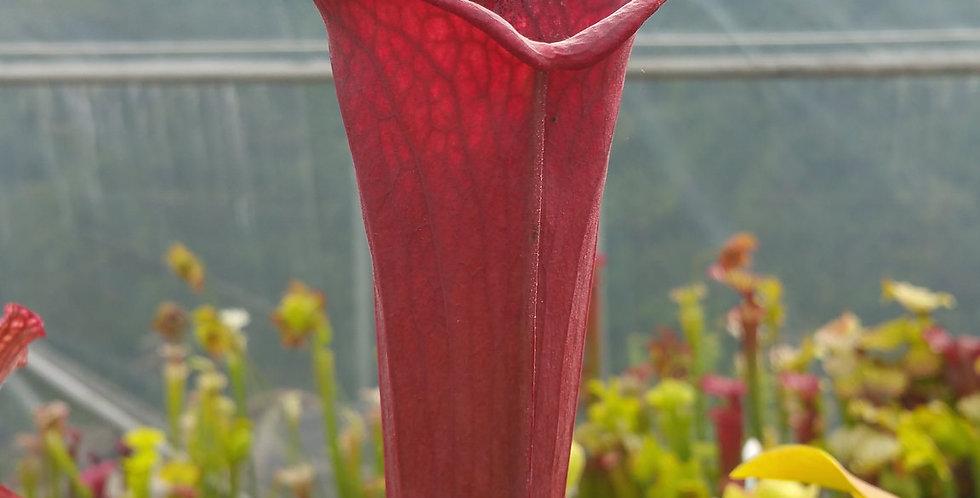 Leucophylla red tube perdido x Flava Atropurpurea BW (OBH43)
