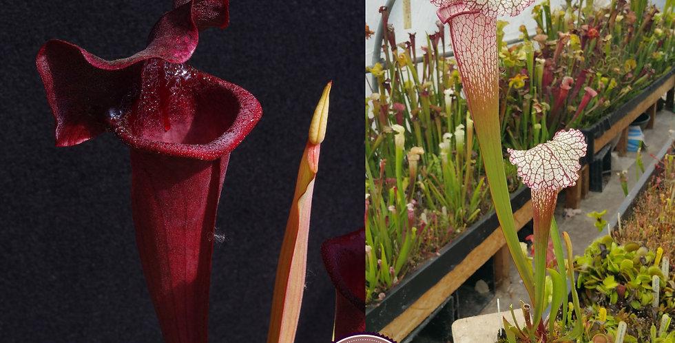 24) Pack of Sarracenia seeds 2019/2020, carnivorous plants rare