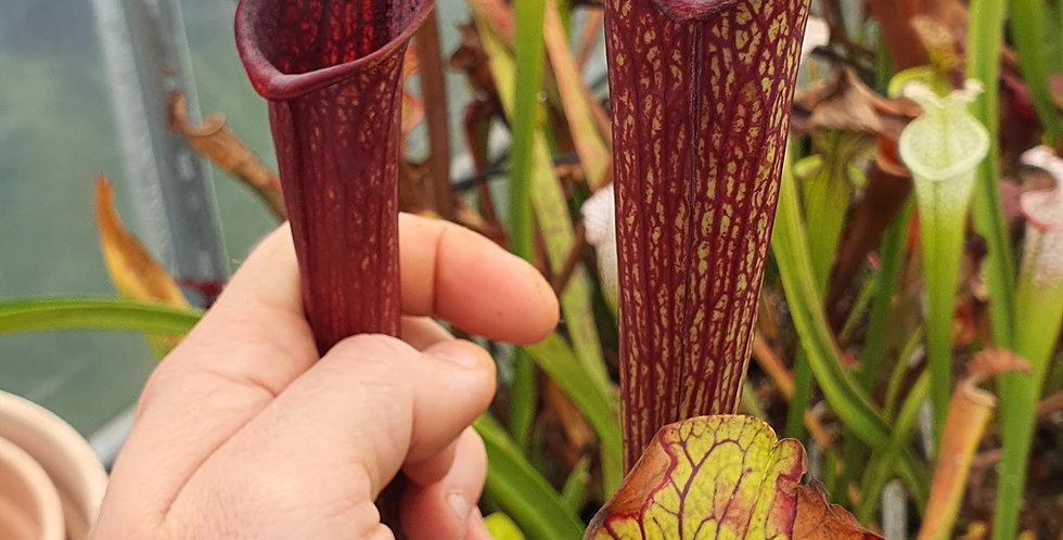 S. Alata purple throat x Flava Ornata Apalachicola (SA106)