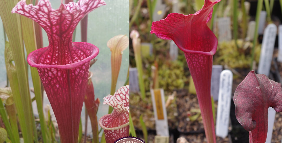 136) Pack of Sarracenia seeds 2020/2021