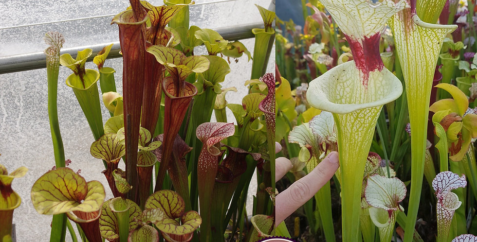 104) Pack of Sarracenia seeds 2020/2021