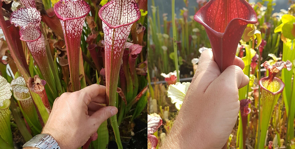 18) Pack of Sarracenia seeds 2019/2020, carnivorous plants rare