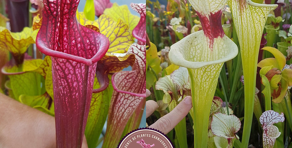 13) Pack of Sarracenia seeds 2020/2021