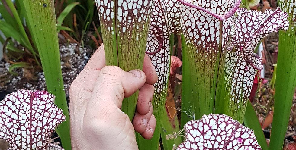 Sarracenia Leucophylla Purple and White Giant form