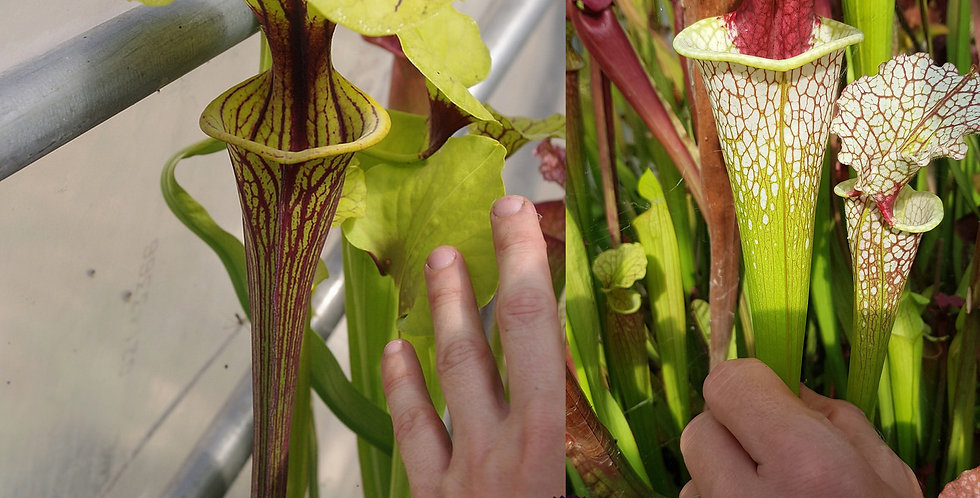 86) Pack of Sarracenia seeds 2019/2020, carnivorous plants rare