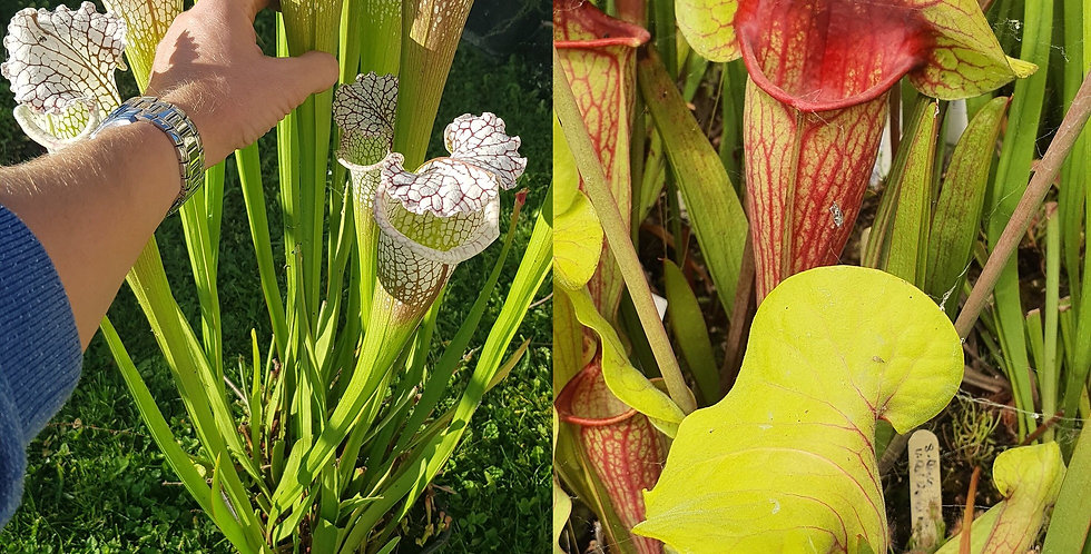 02) Pack of Sarracenia seeds 2020/2021