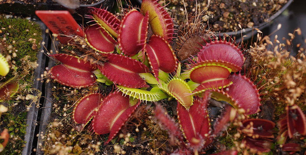 Dionaea M. Holland red