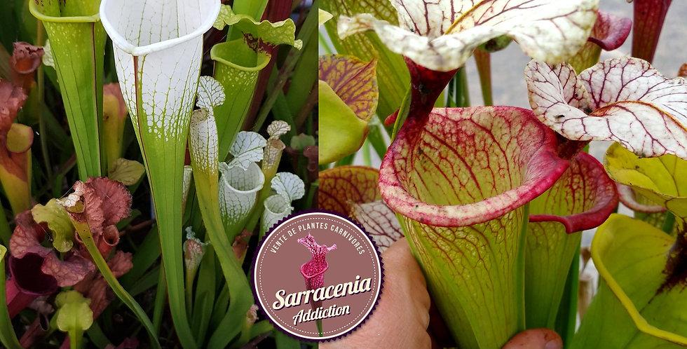 27) Pack of Sarracenia seeds 2020/2021