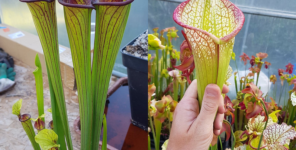 135) Pack of Sarracenia seeds 2020/2021