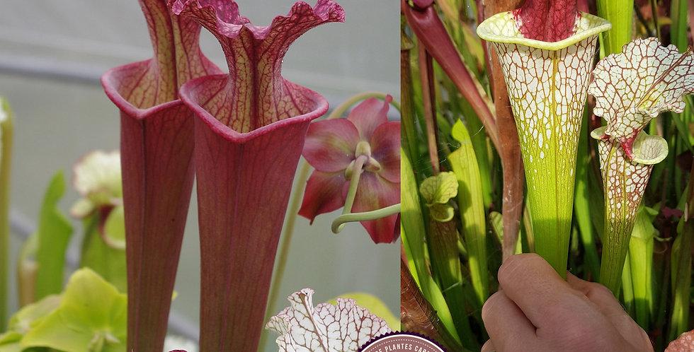 115) Pack of Sarracenia seeds 2020/2021