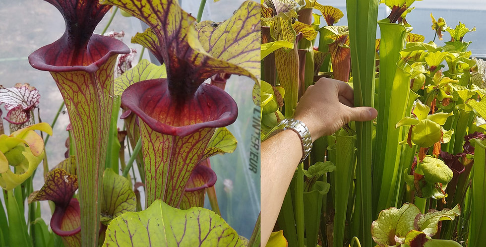 4) Pack of Sarracenia seeds 2019/2020, carnivorous plants rare