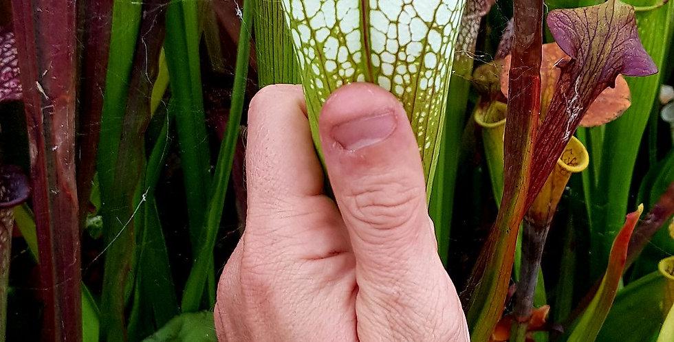 Leucophylla L20C MS