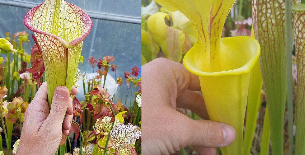 34) Pack of Sarracenia seeds 2019/2020, carnivorous plants rare