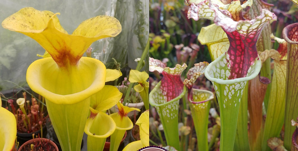 44) Pack of Sarracenia seeds 2020/2021